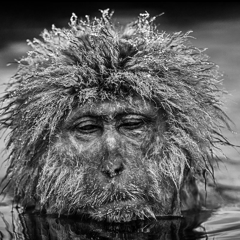 David Yarrow Miserable Monkey featured