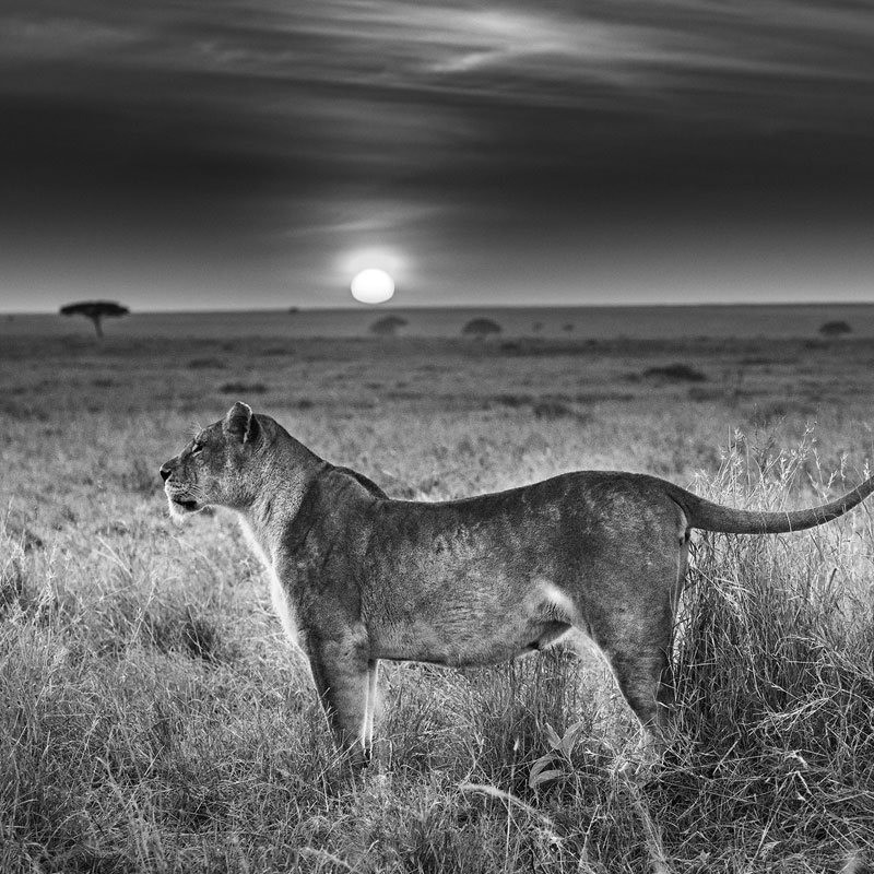 David Yarrow Serengeti Sunrise featured
