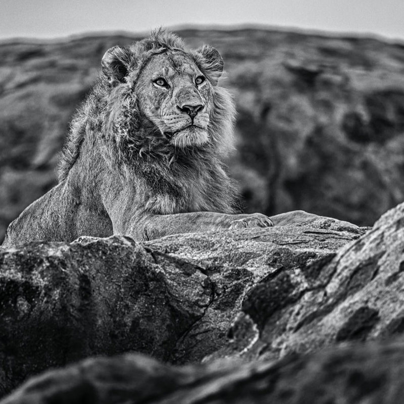 David Yarrow Serengeti featured